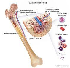 Anatomía del hueso; en la ilustración, se muestra el hueso esponjoso, la médula roja y la médula amarilla. En un corte  trasversal del hueso, se muestran el hueso compacto y los vasos sanguíneos en la médula ósea. También se muestran los glóbulos rojos, los glóbulos blancos, las plaquetas y las células madre sanguíneas.