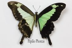 Green-banded Swallowtail Butterfly, Papilio phorcas, photograph by:  Darrell Gulin