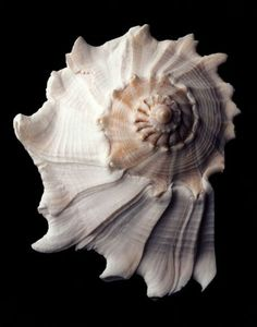 Fibonacci spiral in a shell. Spirals In Nature, Dame Nature, Fibonacci Spiral, Shell Collection, Foto Art, Shell Art, To Infinity And Beyond, Patterns In Nature, Natural Forms