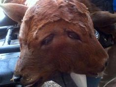 Calf with Two Heads Born in Oregon, Fails to Survive