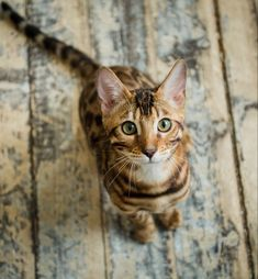Bengal Cat Names 200 Ideas For Naming Your Male or Female - Bengal Cat - Ideas of Bengal Cat - Bengal Cat Names 200 Ideas For Naming Your Male or Female The post Bengal Cat Names 200 Ideas For Naming Your Male or Female appeared first on Cat Gig. Bengal Cat Names, Bengal Kitten, Ragdoll Kittens, Tabby Cats, Kitty Cats, Charcoal Bengal, Cute Cats, Funny Cats, Adorable Kittens