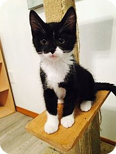 HILLSBORO, OR - Domestic Shorthair. Meet Flower kitten - 'Lilly', a cat for adoption. http://www.adoptapet.com/pet/16053139-hillsboro-oregon-cat