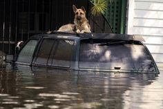 Hurricane Katrina, New Orleans, 2005 Eight days after Hurricane Katrina, an anonymous dog awaits rescue on the roof of this SUV