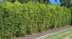 Bambus-Pflanzenshop - Bambus als grüner. - Home Decor Wholesalers Bamboo Hedge, Bamboo Trellis, Bamboo Plants, Fence Landscaping, Backyard Fences, Garden Fencing, Pool Fence, Fences Alternative, Farm Fence