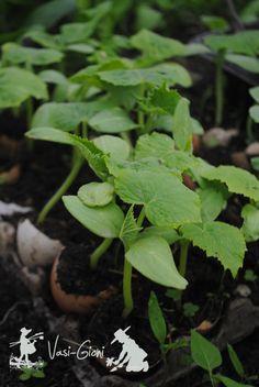 Rasaduri de castraveti in luna Aprilie Plants, Garden, Seedlings, Herbs