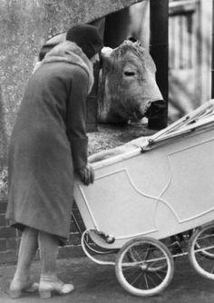 Da guckt die Kuh: Eine Mutter mit Kinderwagen 1930 im Zoologischen Garten von Berlin.