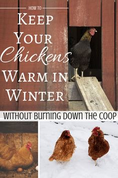 How to Keep Chickens Warm in Winter Keep your chickens warm in cold weather without using a (potentially) dangerous heat lamp! 10 tips to keep your hens comfortable in the winter months. Portable Chicken Coop, Backyard Chicken Coops, Chicken Coop Plans, Building A Chicken Coop, Diy Chicken Coop, Chicken Tractors, Chicken Waterer, Chicken Feeders, Bantam Chickens