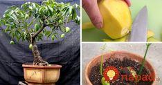 Mango rozhodne nepatrí medzi najlacnejšie druhy exotického ovocia. Vedeli ste však, že mangovník môžete jednoducho a celkom zadarmo vypestovať aj vo vašej obývačke?
