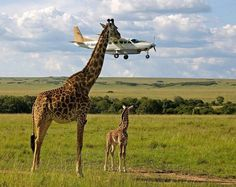 Bit of a plane lunch today for this giraffe lol