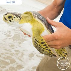 Sea turtles in SeaWorld's care are monitored closely by park zoological staff and veterinary staff. After recovering, sea turtles just like this little one, are evaluated and returned to the wild! #365DaysOfRescue