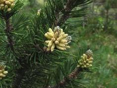 Pine Forest, Google Images, Dandelion, Fantasy, Flowers, Plants, Dandelions, Fantasy Books, Plant