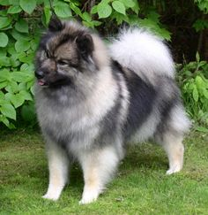 Beautiful Keeshond dog on the grass