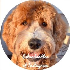 So here I am the profilepic of LOI  Thanks to all of you who voted for me you are the best IGfriends a guy like me could have  and thanks to @labradoodles_of_instagram who posted my pic in the first place  Have a great start of 2016  #labradoodlesofinstagram #loiprofilepic #australianlabradoodle #dogsofinstagram  #dogsofinstaworld #puppiesofinstagram #pupswithattitude #labradoodle #hundvalp #dogoftheday #ilovemydog #hund #labradoodlevalp #labradoodlepuppy #clubdoodle #lovemydog #sweden…