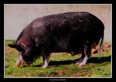 Ossabaw Island Pig With Oil Painting Effect Photograph