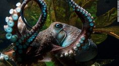 CNN.co.jp : 水族館のタコが脱走、自力で海へ戻る ニュージーランド http://www.cnn.co.jp/fringe/35081155.html