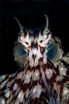 School of Bumphead Parrotfish Underwater Creatures, Underwater Life, Ocean Creatures, Mimic Octopus, Octopus Squid, Underwater Photographer, Deep Blue Sea, Animals Of The World, Ocean Life