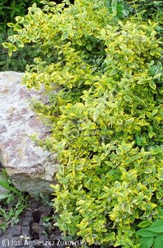 trzmielina Fortune'a 'Emerald 'n' Gold' - Euonymus fortunei 'Emerald 'n' Gold' | Katalog roślin - e-katalog roślin