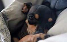 Sleepy Miniature Pinscher chihuahua  my baby girl is a min pin chi and is so sweet