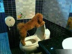 My Dog Potty Trained: I trained my dog how to take a pee in a toilet, not thats the trick thats worth recording, and some people say you can't teach an old dog Cute Funny Animals, Funny Animal Pictures, Funny Dogs, Funny Images, I Love Dogs, Cute Dogs, Dog Potty, Dog Pee, Animals