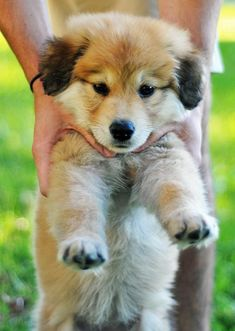 German shepherd / Golden retriever - For sure will be a BIG dog when he grows up, but he's sooo cute :D