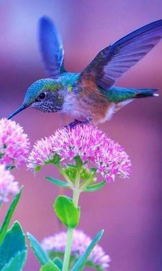 A beautiful Hummingbird feeds from a Sedum flower. Cute Birds, Pretty Birds, Beautiful Birds, Animals Beautiful, Cute Animals, Beautiful Pictures, Exotic Birds, Colorful Birds, Bird Pictures