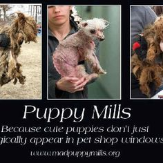 This pin is a meme that shows the reality of puppy mills. This picture states that puppies don't just magically appear in windows, they actually do come from somewhere they are not treated right. Source: http://media-cache-ec2.pinimg.com/originals/72/80/02/728002c8245df20f7a6a3043d903ccc8.jpg Author: Unknown