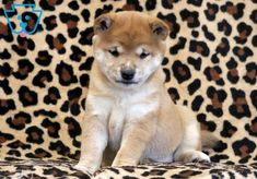 This Shiba Inu puppy is real cutie pie! She comes pre-spoiled and is ready to give lots of puppy kisses to her new family! Shiba Inu, Puppies For Sale, Corgi, Animals, Corgis, Animales, Animaux, Animal, Animais