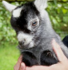For work reasons I can't disclose yet, but that I shall share with you in the coming months, I visited a pygmy goat farm. They are the miniature goats we ...
