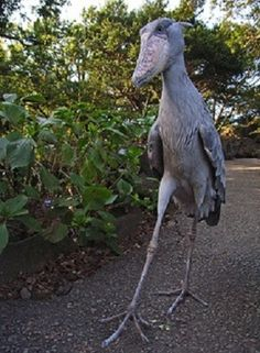 shoebill going for a stroll