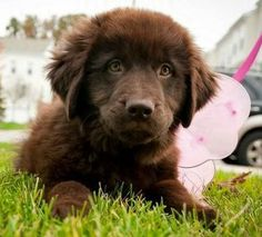 newfie- want one of these so bad too!! And a Bernese mountain dog!!! :)