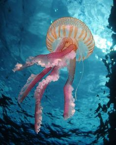 Ocean, sea, marine life - orange and pink huge striped jellyfish drifting up out… Underwater Creatures, Underwater Life, Ocean Creatures, Underwater Animals, Beautiful Sea Creatures, Animals Beautiful, Beautiful Ocean, Fauna Marina, Life Under The Sea