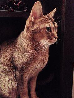 My Abyssinian cat, Kenya. :)