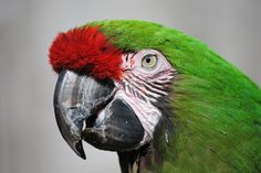 ITAP of a Great Green Macaw http://ift.tt/2fOycud