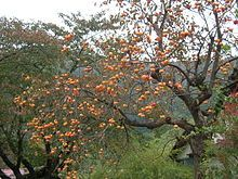 Diospyros virginiana (The American Persimmon) The leaves are a good source of vitamin C.  The fruits are edible raw or baked.  To make tea  dry the leaves and soak them in hot water. you can eat the roasted seeds.