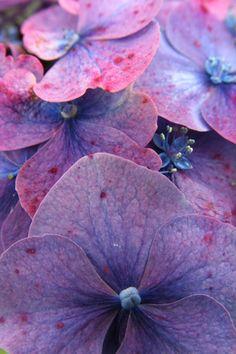 Meer hortensia's op www.mooiwatbloemendoen.nl