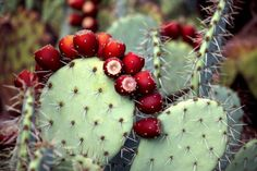 """dryadpharmacy: Opuntia """"is agenusin the cactusfamily,Cactaceae. Prickly pears are also known as tuna (fruit), sabra, nopal (paddle, plural nopales) from the Nahuatl word nōpalli for the pads, or nostle, from the Nahuatl word nōchtli for the fruit; or paddle cactus. The most commonculinaryspecies is theIndian fig opuntia(O. ficus-indica). Mostculinaryuses of the term """"pricklypear"""" refer to this species.  PINNED by My Art y Lezama."""