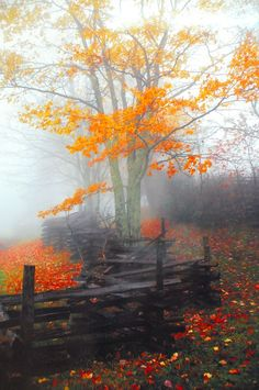Mist and orange leaves, how beautiful, how lucky we are to live amongst such wonders of nature.....