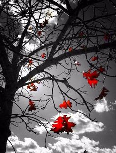 Tree with red leaves  & clouds