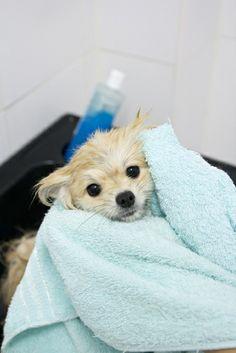 Veja aqui como dar um banho a seco em seu pet