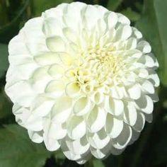white dahia