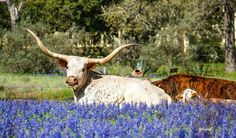 Almost nothing says Texas like Longhorns and Bluebonnets! Taken Monday March 2015 La Vernia,Texas by Tesi PUgh via Texas Hill Country FB Texas Bluebonnets, Texas Longhorns, Texas Hill Country, Corpus Christi Texas, Only In Texas, Texas Forever, Loving Texas, Texas Pride, Texas Travel