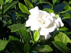 Cape Jasmine, Gardenia jasminoides, Shrub Seeds (Fragrant Evergreen)