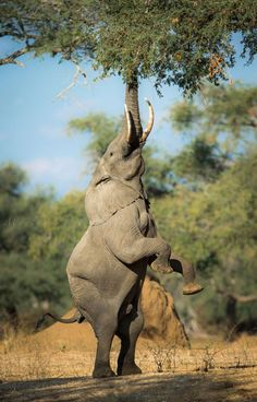 We saw an elephant that can do this near our camp in Mana Pools! Magical Mana pools, Zimbabwe...