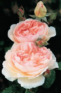 Sharifa Asma Rose. Shrub. English Rose