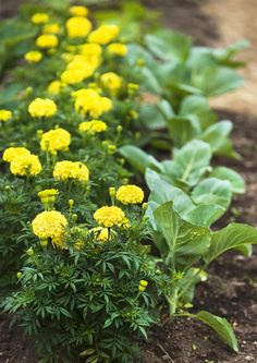 Samettikukka torjuu kasvintuhoojia. Sen juuristo erittää rikkipitoista ainetta, joka on kuin myrkkyä monille kasvitauteja aiheuttaville pieneliöille. viherpiha.fi