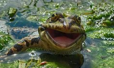 This photograph of a cheery frog is among the 40 finalists for this year's Comedy Wildlife Photography Awards. The contest received about entries from 75 countries. (Artyom Krivoshee via Comedy Wildlife Photography Awards) Funny Animal Photos, Funny Photos, Animal Pictures, Funny Animals, Cute Animals, Animals Photos, Crazy Animals, Funniest Pictures, Happy Animals
