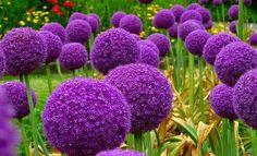 Allium beautiful