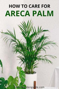 Areca Palm Care - How To Grow Dypsis Lutescens - Smart Garden Guide - Modern Design Areca Palm Care, Areca Palm Plant, Palm Plants, Indoor Palm Trees, Indoor Palms, Cat Safe Plants, Low Light Plants, Smart Garden, Garden Guide