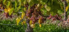 red grapes by haen son on 500px