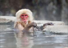 Photograph Snow Monkey, Hot Spring, Japan - by Chau-Ha Tran on 500px